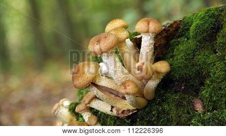 family honey agaric