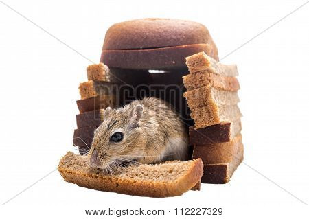 mouse eats bread in their bread house