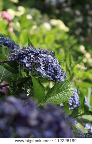 Verious color of hydrangea at Hase temple Kamakura Japan
