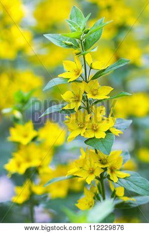 Closeup of  Yellow Loosestrife flower (Lysimachia vulgaris)