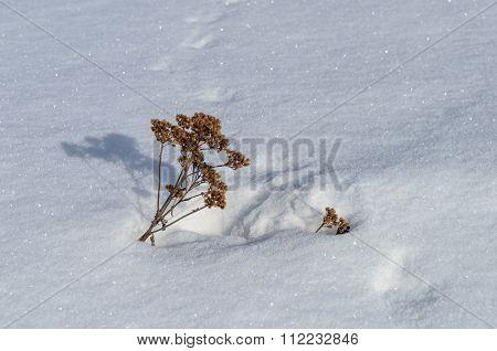 Bunch Of Dry Grass In Snowy Field