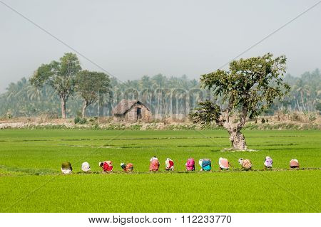 Group Of Women Working In A Green Paddy Field.