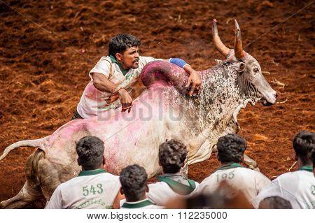Jallikattu Bulls