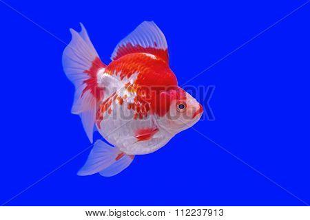 Goldfish In The Aquarium