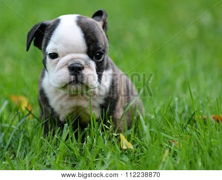 bulldog puppy playing outside 8 weeks old
