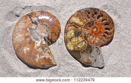 Two Ammonite Halves: Front and Back