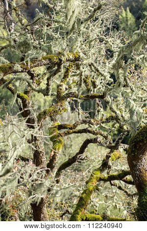 Oak tree covered in Lace Lichen (Ramalina menziesii)