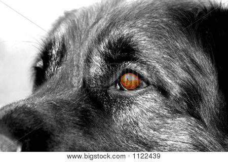Eye Of Leonberger