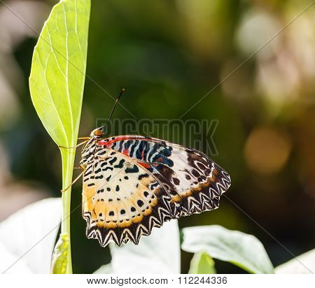 Female Leopard Lacewing (cethosia Cyane Euanthes) Butterfly