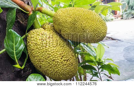 Closeup Jackfruit At Tree In Garden Of Home Background