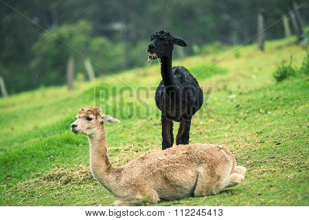 Alpacas in a field