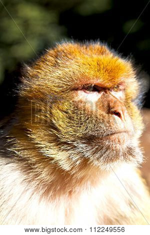 Old Monkey In   Morocco And Natural Background Fauna
