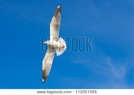 The sea gull flies on background a blue sky