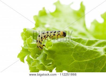 Pest Yellow Caterpillar On Lettuce