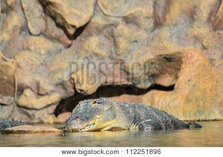 Amphibian Prehistoric Crocodile