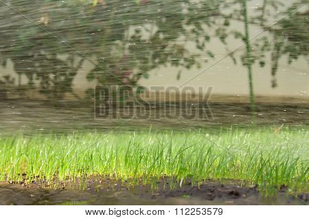 Lawn grass in water