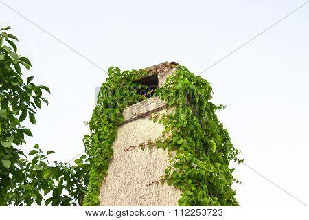 Ivy on chimney