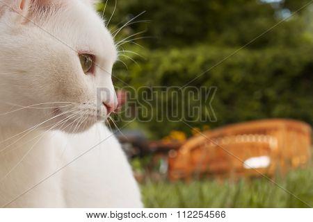 White cat closeup