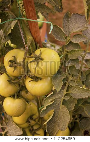 Green tomato fruits