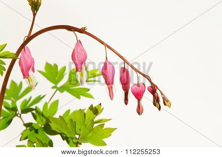 Pink flowers isolated