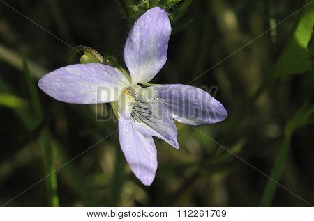 Pale Dog-violet