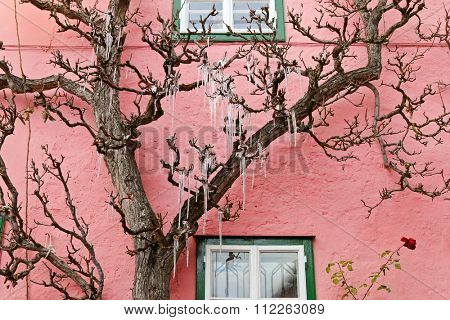 Icicles, freezing of dripping water, hanging on a tree in front of a pink house