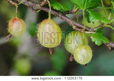 Soft focus of home grown European gooseberry (Ribes uva-crispa) on its branch in the garden