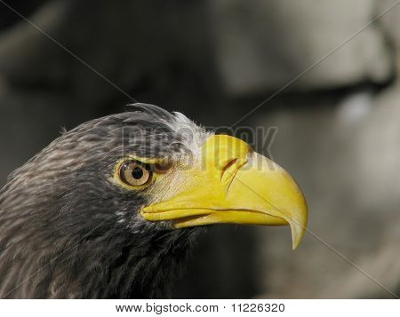 Head of steller's sea eagle