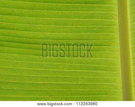 Pattern Leaf Banana