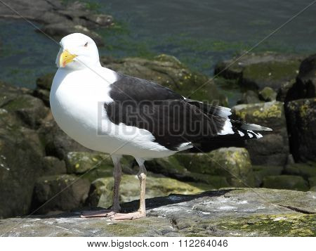 Great Black backed Gull