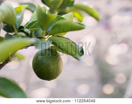 The Key Lime On Tree