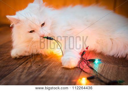 sweet white cat