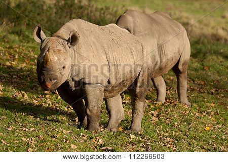 Pair of Black Rhinos