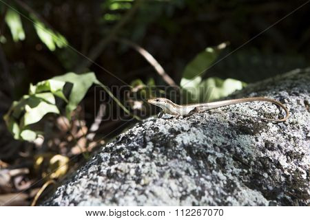 Little lizard basking on rock. Seychelles.
