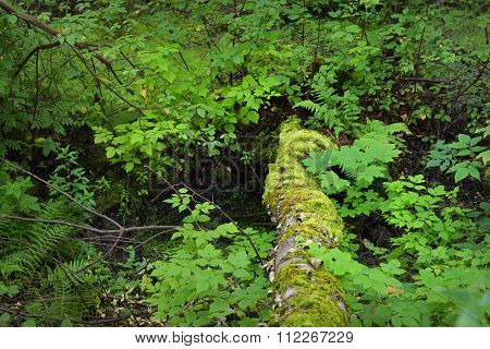 Mossy Tree Trunk In A Deciduous Forest
