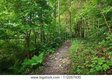 Footpath In A Deciduous Forest