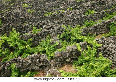 Vineyards In Stone