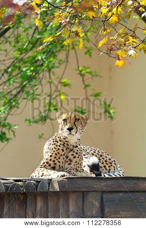 Tired cheetah resting
