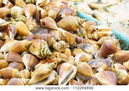 Dog Conch Wing Shell or edible sea snail