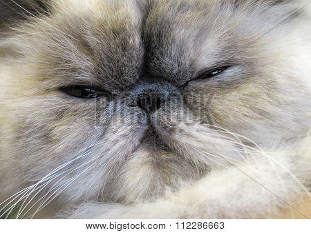 Persian Longhair Cat.
