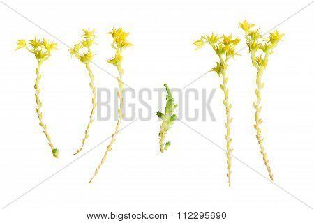 Pressed And Dried Flowers Of Sedum.