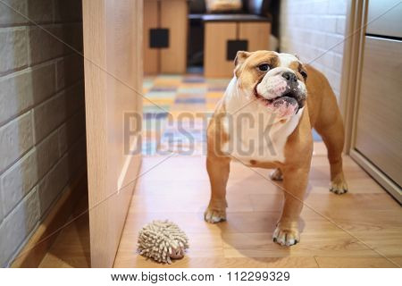 English bulldog with toy for dog standing in the room