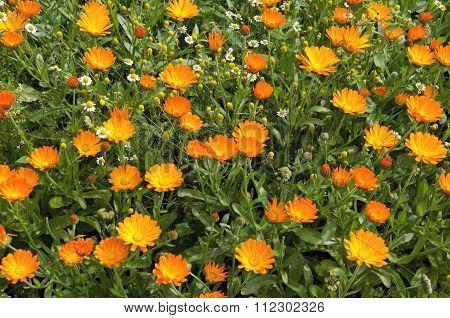 Calendula Marigold In The Garden