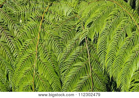 Sunlit Tree Fern Leaves Nature Background