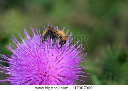 Bumblebee On A Single Flower