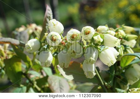 Blueberry Flowers And Leaves