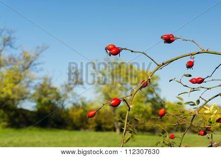 Fruit Of Dog-rose