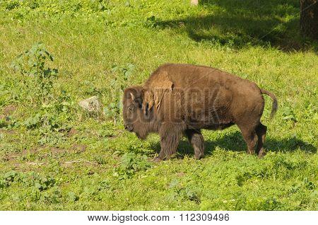 North American Bison in San Francisco's Golden Gate park