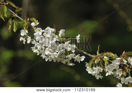 Wild Cherry Flowers
