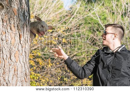 American  Staffordshire terrier jumping on a tree.